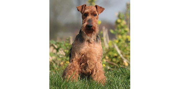 welsh-terrier-gallois-fox-campagne