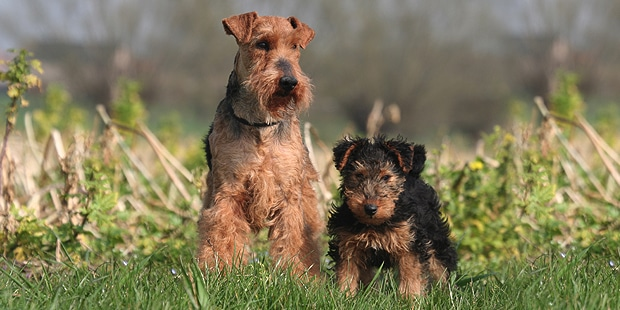 welsh-terrier-gallois-fox-chiot-chienne