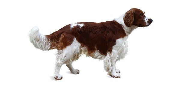 welsh-springer-spaniel