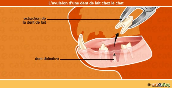 avulsion_dent_de_lait_chat