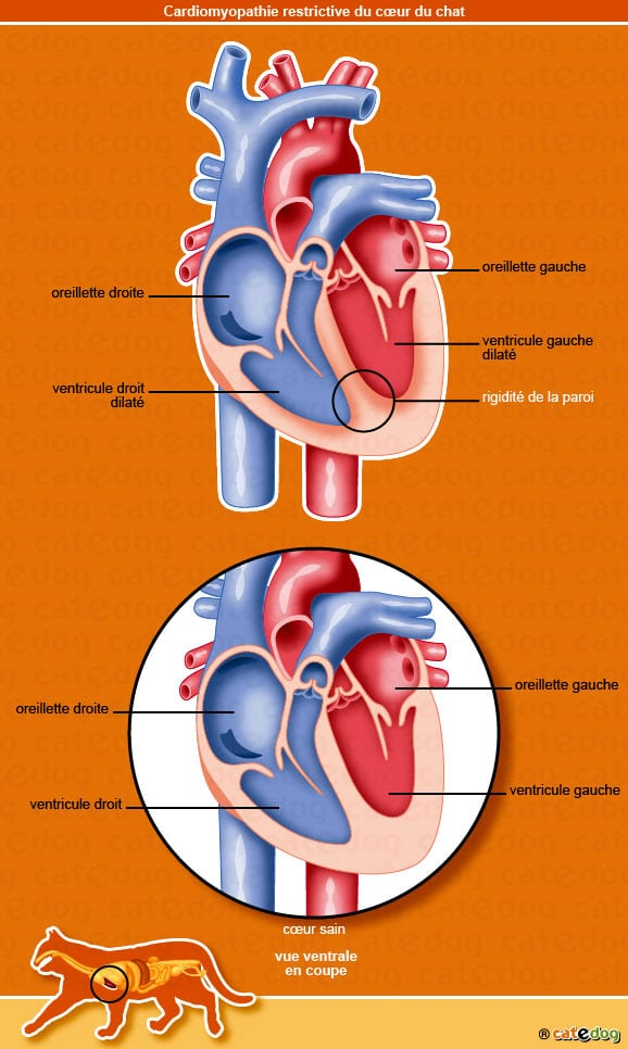 cardiomyopathie_restrictive_coeur_chat