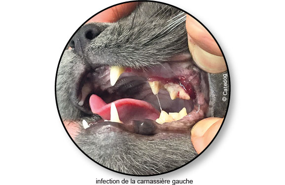 infection-maladie-parodontale-gingivite-dent-chat