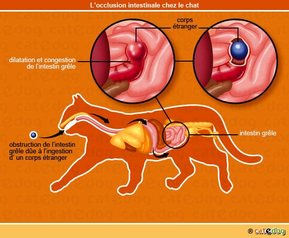 occlusion-intestinale-chat