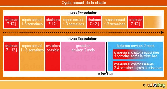 cycle_sexuel_chatte