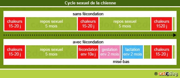 cycle-sexuel-fecondation-chienne
