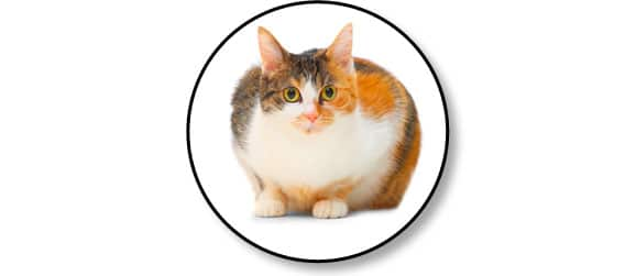 cystite-idiopathique-chat-obeiste-obese