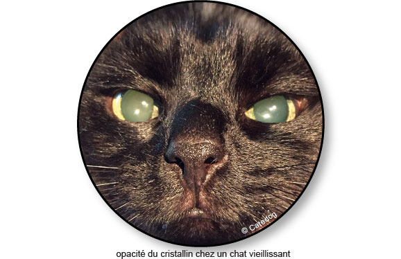 opacification-cristallin-oeil-chat-aveugle