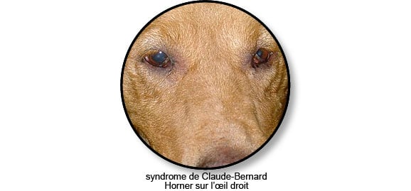 syndrome_claude_bernard_horner_chien_chat