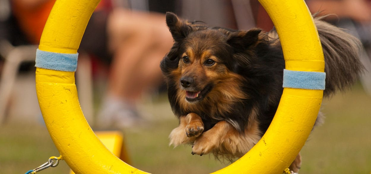 agility-jumping-chien
