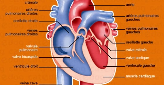 Anatomie appareil cardiovasculaire • chat – Conseils