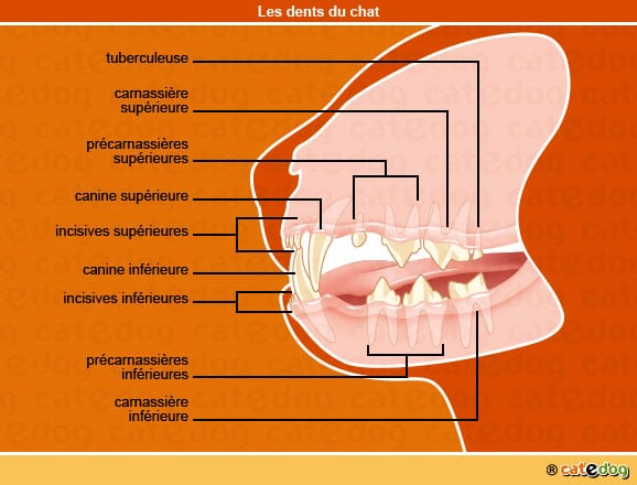 anatomie-chat-dents-dentition-bouche-catedog