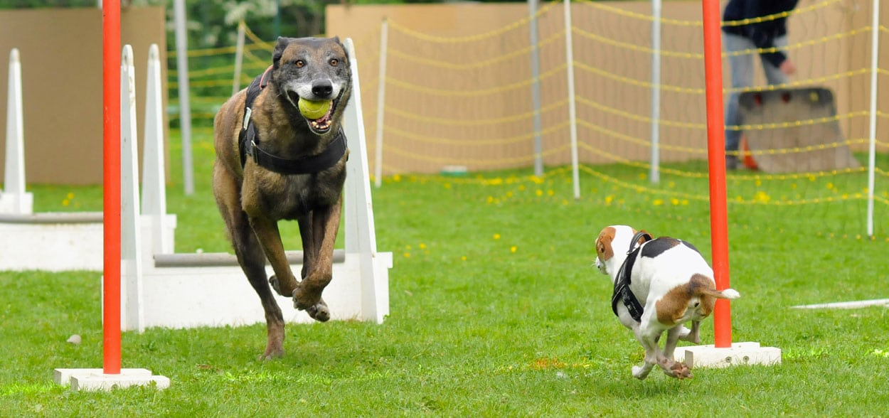 flyball-chien