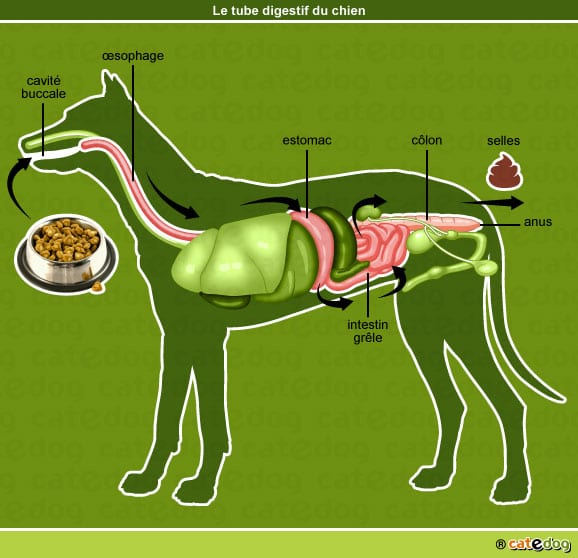 anatomie-chien-tube-digestif-digestion-catedog