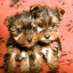 yorkshire-terrier-chiots-duo