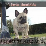 chien-bouledogue-francais-adulte