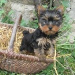 yorkshire-terrier-chiot-panier