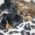 yorkshire-terrier-chienne-chiots