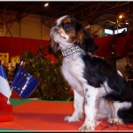 epagneul-king-charles-spaniel-concours
