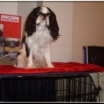 epagneul-king-charles-spaniel-exposition