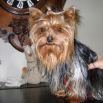 yorkshire-terrier-assis