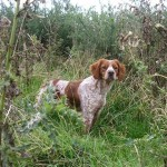 epagneul-breton-Brittany-Spaniel-champs