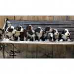 chien-bearded-collie-chiots-banc