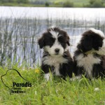 chien-bearded-collie-chiots