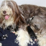 chien-bearded-collie-chienne-chiots