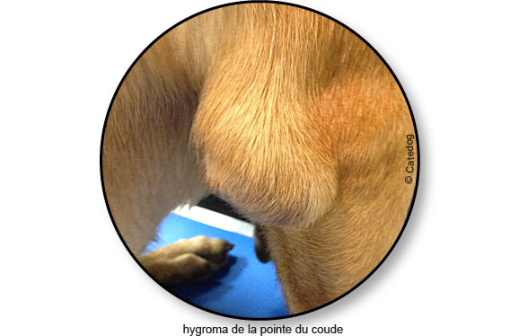 hygroma_coude_malinois_chien