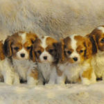 cavalier-king-charles-chiots