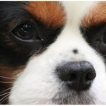 cavalier-king-charles-portrait