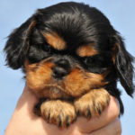 cavalier-king-charles-portrait-chiot