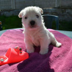 westie-west-highland-white-terrier-chiot-table