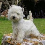 west-highland-white-terrier-westie