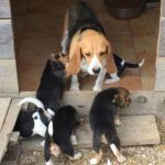beagle-chienne-chiots