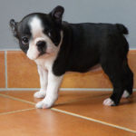 boston-terrier-chiot