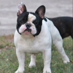 bouledogue-francais-male