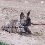 bouledogue-francais-sable