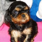 cavalier-king-charles-spaniel-chiot
