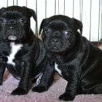 staffordshire-bull-terrier-chiots