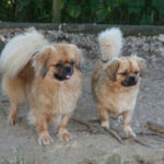 epagneul-tibetain-chien-duo