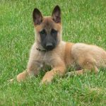 berger-belge-malinois-chiot-couche