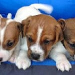 chiot-parson-russell-terrier