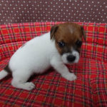 jack-russel-terrier-chiot