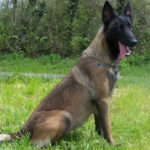 berger-belge-malinois-champs