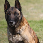 berger-belge-malinois-face