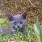 chat-chartreux-chaton-champs