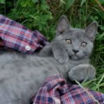 chat-chartreux-drole