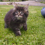 chat-maine-coon-chaton-ferme