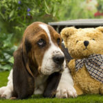 chiot-basset-hound-ours